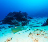 Stingray on Sandy Bottom of Coral Reef Stock Photography