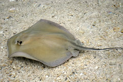 Stingray on the sea bed Royalty Free Stock Images