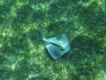Stingray in the sea stock images