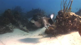 Stingray in search of food on sandy bottom of sea stock video footage