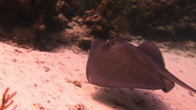Stingray in search of food on sandy bottom of sea stock video