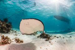 Stingray in a shallow, sandy lagoon stock photography