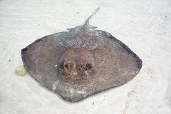 Stingray in a shallow water Royalty Free Stock Photography