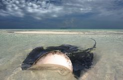 Stingray in shallow water Stock Photo