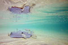 Stingray in Shallow Water Stock Photos