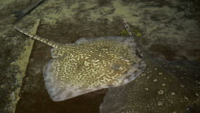 Stingray on Shallow Water. A stingray is laying on the bottom of the water and winking stock video footage