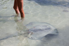 Stingray in Shallow Water Royalty Free Stock Photography