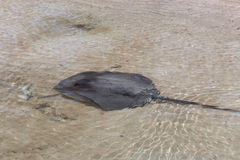 Stingray in Shallow Water Royalty Free Stock Photo