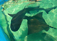 Stingray and shark Royalty Free Stock Photo