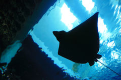 Stingray silhouette Royalty Free Stock Images
