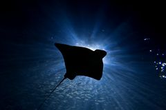 Stingray Silhouette. Stingray swims through a ray of light in the ocean Royalty Free Stock Photo