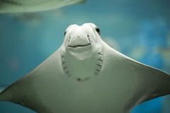 Stingray smiling while in movement. Stingray smiling in an aquarium while swimming royalty free stock photography