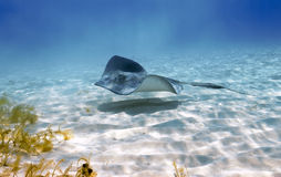 Stingray stealth patrol. A Southern stingray patrols the sandy shallows of Stingray City, Grand Cayman like an alien stealth bomber Stock Photos