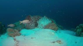 Stingray su una barriera corallina Immagine Stock
