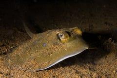 Stingray subaquático Imagens de Stock Royalty Free