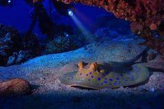 Stingray sul fondale marino fotografia stock