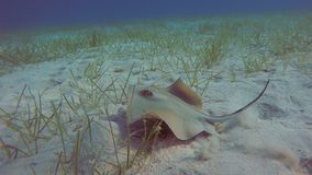Stingray Swimming Away. Stingray Swimming Fast Over Sandy Seabed. The Camera Follows It Underwater stock footage