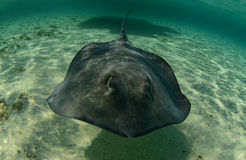 Stingray swimming in the ocean underwater Royalty Free Stock Image