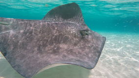 A stingray swimming in the shallow water. A close up shot of a stingray swimming in the crystal clear turquoise shallow water in Cayman Islands stock video