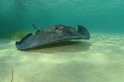 Stingray swimming in a tropical destination Stock Photo