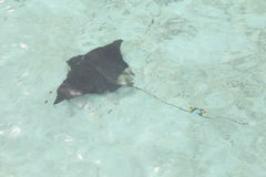 Stingray swimming Stock Photo