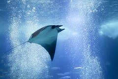 Stingray swimming in the water royalty free stock photography