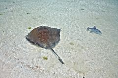 Stingray and triggerfish in a shallow water Stock Photography