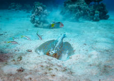 Stingray underwater behaviour Stock Image