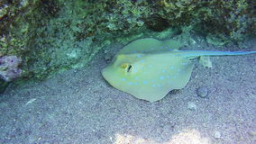Stingray Underwater on Coral Reefs in the Red Sea, Egypt. Ramp on the shoreline under water on sand beach in Egypt. Transparent sea water red sea. Sealife in stock footage