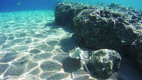 Stingray Underwater on Coral Reefs in the Red Sea, Egypt stock video