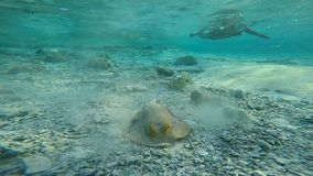Stingray underwater. A stingray uncovers themselves from beneath the sand and swim off into the waters of the Red Sea, Egypt stock video footage