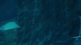 stingrays Большой аквариум с различным видом рыб и морской флоры и фауны видеоматериал