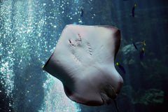 Stingrays Royalty Free Stock Photography