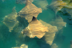 Stingrays. A lot of stingrays in the ocean near to a boat way stock photos