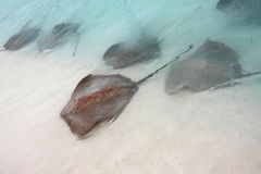 Stingrays. Come in for feeding in the shallow maldivian waters Stock Image