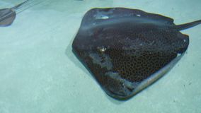 Stingrays with another marine fishes floats on the deep. Underwater background stock footage