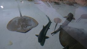 Stingrays with another marine fishes floats on the deep. Underwater life stock footage