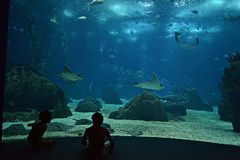 Stingrays in the aquarium. Two children observing the stingrays in the big aquarium. This interesting aqurarium is a popular actraction in Lisbon, Portugal royalty free stock images