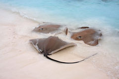 Stingrays' meeting. Stingrays come in for feeding in the shallow maldivian waters Royalty Free Stock Photography