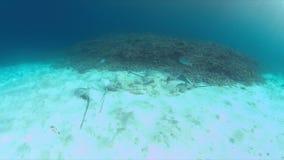 Stingrays on sandy bottom 4k. Stingrays on sandy bottom in shallow water. 4k footage stock video