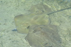 Stingrays in shallow waters Stock Images