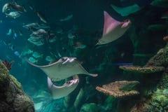 Stingrays swimming in aquarium. With ocean fish Royalty Free Stock Images