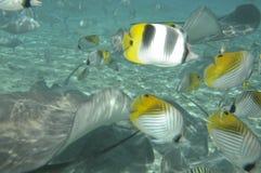 Stingrays u. tropische Fische Lizenzfreie Stockfotos
