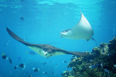 Stingrays underwater. Stingrays swimming underwater with fish by a reef Stock Image