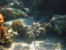 Stingrayschwimmen Stockfotografie