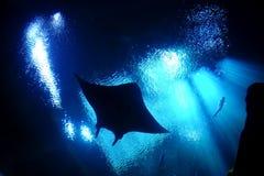 Stingrocka fångat undervattens- Fotografering för Bildbyråer