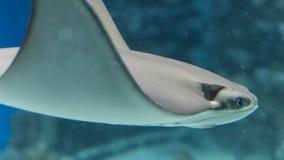 Stingrocka i akvarium arkivbild