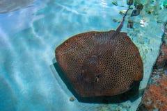 Stingrockan är en plan marin- fisk Strålskridskodjup-vatten fisk Simma för stingrocka som är undervattens- Kramp-fisk i blått vat Arkivbild