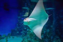 Stingrockan är en plan marin- fisk Strålskridskodjup-vatten fisk Slapp fokus Simma för stingrocka som är undervattens- Kramp-fisk Fotografering för Bildbyråer