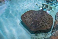 Stingrockan är en plan marin- fisk Strålskridskodjup-vatten fisk Top beskådar Simma för stingrocka som är undervattens- Arkivfoton